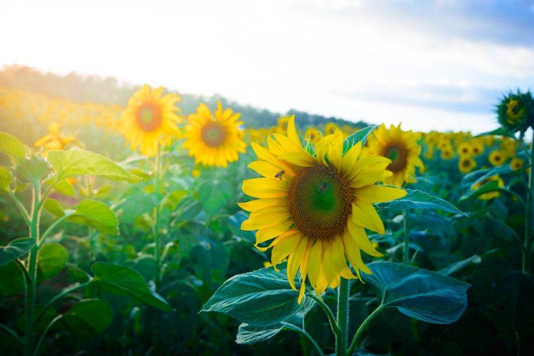 Dalat fleurs
