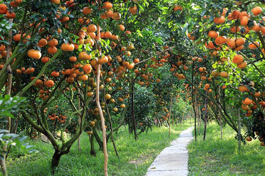 Jardin fruit delta du mekong